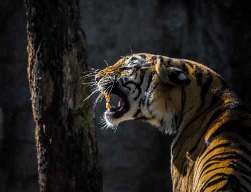 Quando la tigre si palesa